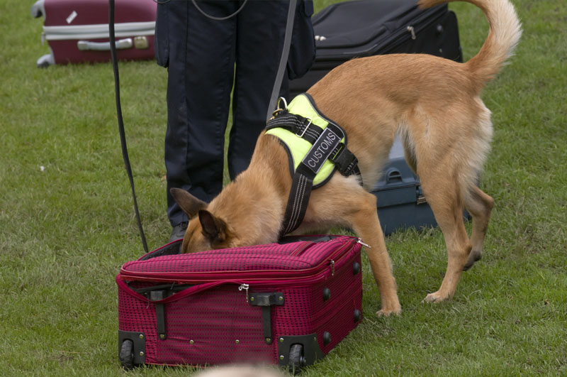 Dog training to search luggage for drugs and bombs